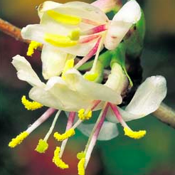 Winter flowering honeysuckle closeup