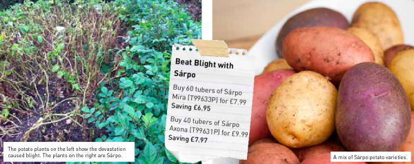 Sarpo Potatoes